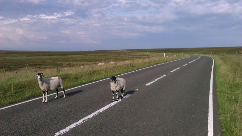 All bipeds and bikes have right of way in Derbyshire, with sheep at the top of the list.